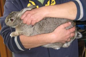 rabbit handling-1