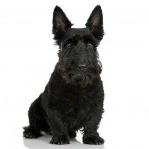 Scottish Terrier (9 years)